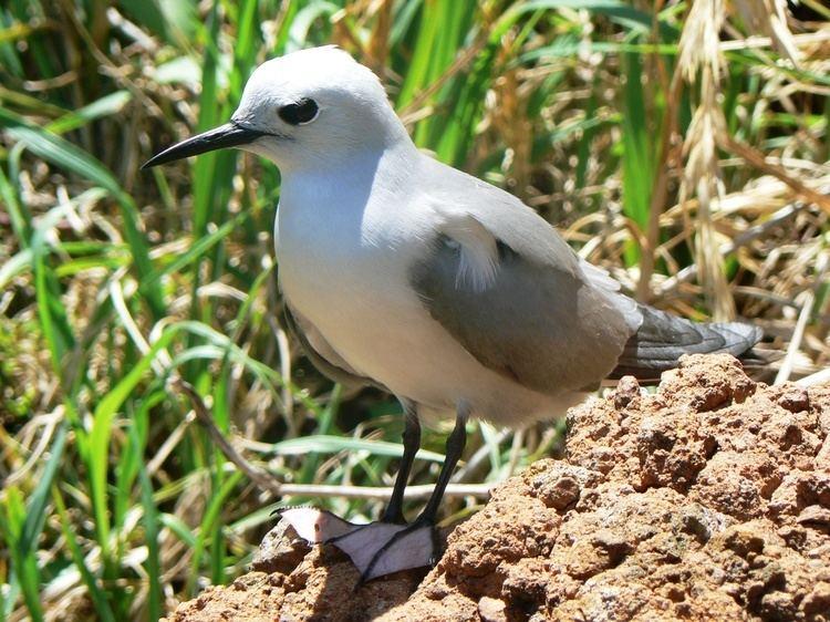Blue noddy Grey noddy New Zealand Birds Online