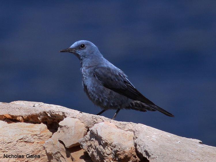 Blue rock thrush Birdwatching in Malta Blue Rock Thrush