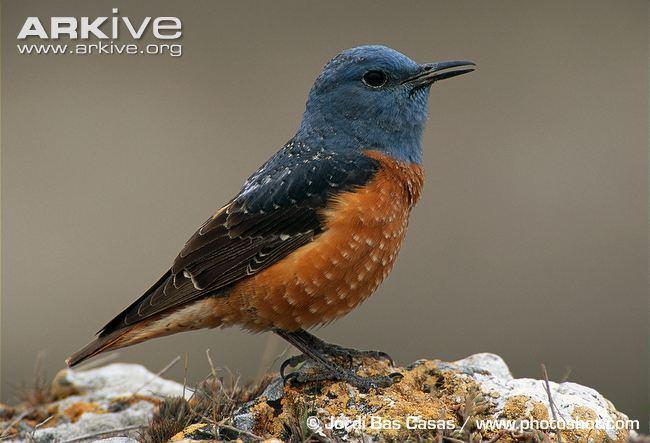 Blue rock thrush Blue rockthrush videos photos and facts Monticola solitarius