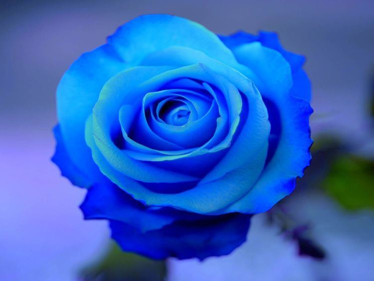Blue rose 1000 images about rose on Pinterest Turquoise Yellow roses and