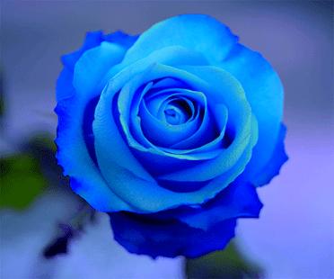 Blue rose blue rose Kabloom Flowers Blog