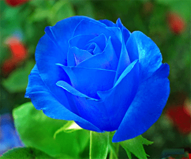 Blue rose Blue Rose Live Wallpaper Android Apps on Google Play