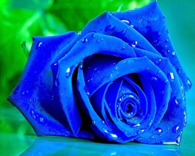 Blue rose Blue Rose Live Wallpaper YouTube