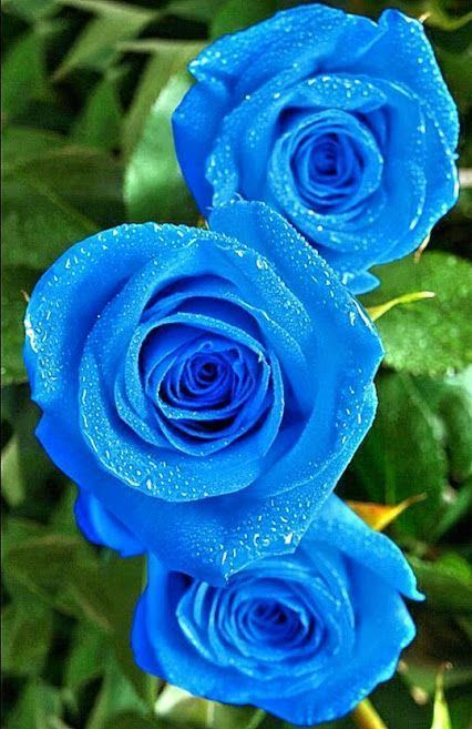 Blue rose 1000 ideas about Blue Roses on Pinterest Single rose Roses and