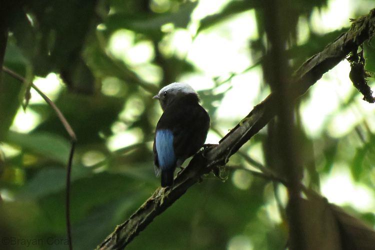 Blue-rumped manakin Bluerumped Manakin Lepidothrix isidorei Bluerumped Man Flickr
