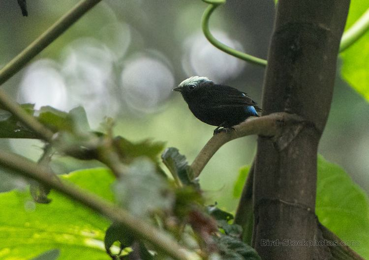 Blue-rumped manakin Bluerumped Manakin Lepidothrix isidorei Ecuador Bird Stockphotos