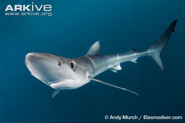 Blue shark Blue shark videos photos and facts Prionace glauca ARKive