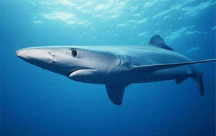 Blue shark oceanaorgsitesdefaultfilesstyleslightboxful