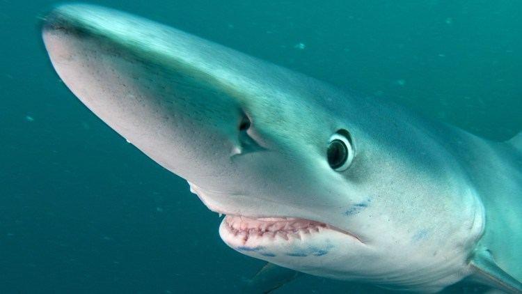 Blue shark Blue Shark Adventure JONATHAN BIRD39S BLUE WORLD YouTube