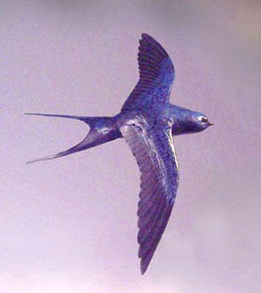 Blue swallow Blue Swallow Sculpture Wildlife Fine Art by Daniel McQuestion
