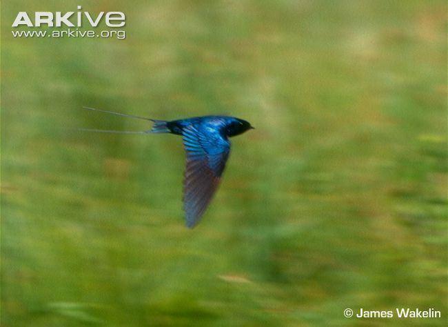 Blue swallow Blue swallow photo Hirundo atrocaerulea G33960 ARKive