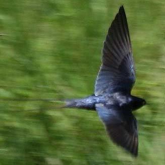 Blue swallow Hirundo atrocaerulea Blue swallow