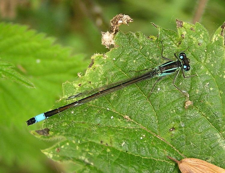 Blue-tailed damselfly warehouse1indiciaorgukuploadBluetailed20dam