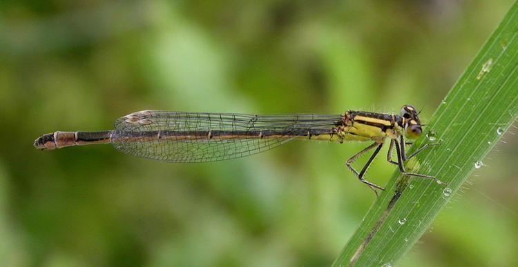 Blue-tailed damselfly Bluetailed Damselfly britishdragonfliesorguk