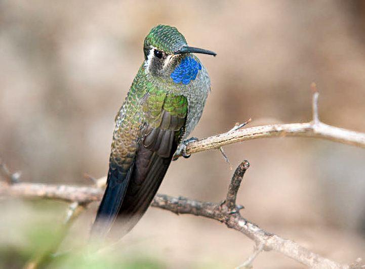Blue-throated mountaingem wwwhummingbirdsplusorgwpcontentuploads20150