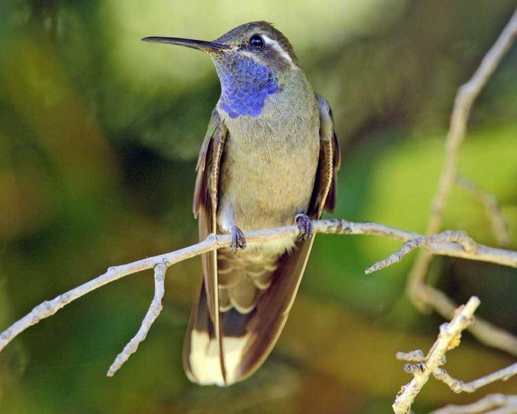 Blue-throated mountaingem 1000 images about Beautiful BlueThroated Hummingbird Photography