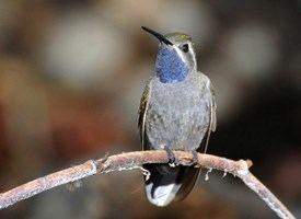 Blue-throated mountaingem Bluethroated Hummingbird Identification All About Birds Cornell