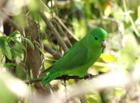Blue-winged parrotlet Bluewinged Parrotlet Forpus xanthopterygius Planet of Birds
