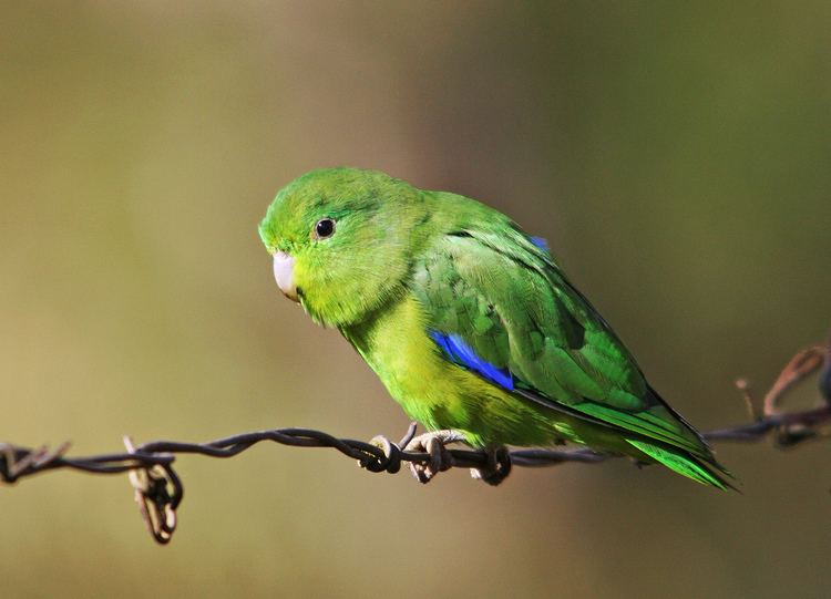 Blue-winged parrotlet Tuimmacho Blue Winged Parrotletmale Forpus xantoptery Flickr