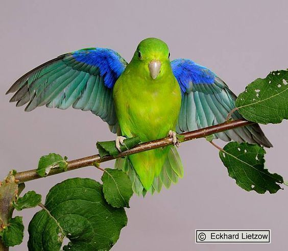 Blue-winged parrotlet The Bluewinged Parrotlet Forpus xanthopterygius is a small parrot