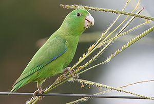 Blue-winged parrotlet httpsuploadwikimediaorgwikipediacommonsthu