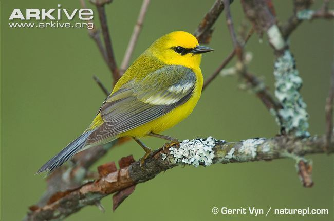 Blue-winged warbler Bluewinged warbler videos photos and facts Vermivora cyanoptera