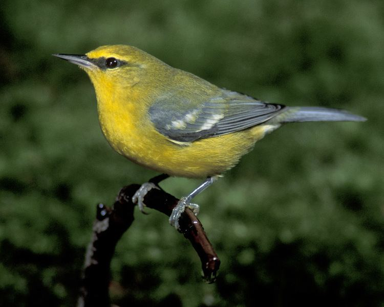 Blue-winged warbler d2fbmjy3x0sduacloudfrontnetsitesdefaultfiles