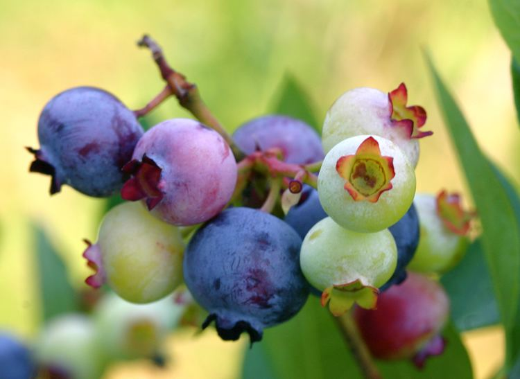 Blueberry Blueberry Wikipedia