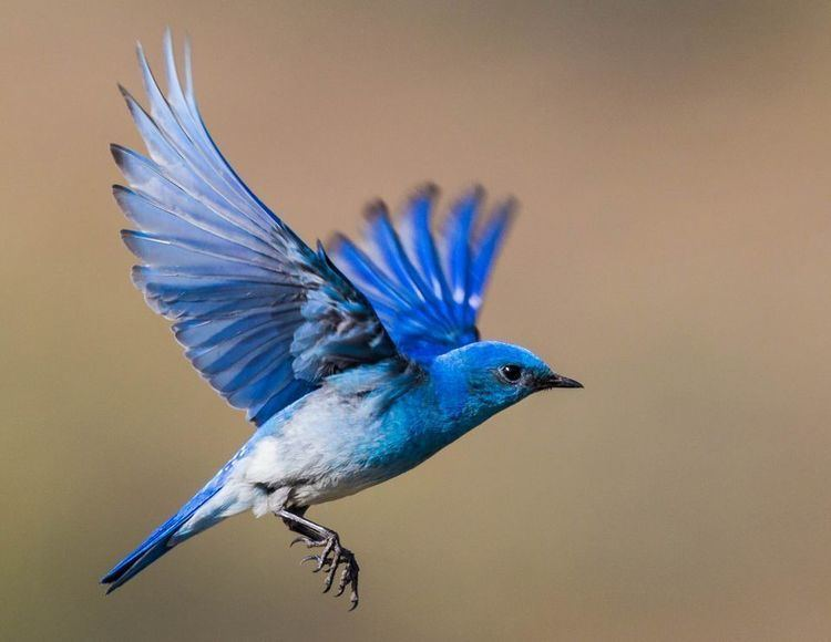 Bluebird Bluebirds Bluebird Pictures Bluebird Facts National Geographic
