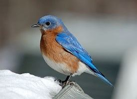 Bluebird Eastern Bluebird Identification All About Birds Cornell Lab of