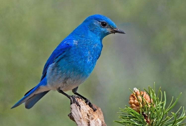 Bluebird Mountain bluebird Wikipedia