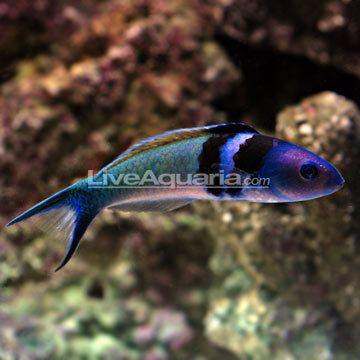 Bluehead wrasse Saltwater Aquarium Fish for Marine Aquariums Bluehead Wrasse