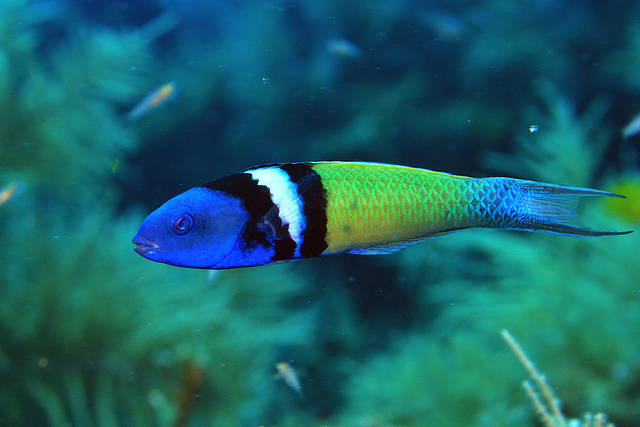 Bluehead wrasse Saltwater Fish of the Day Bluehead Wrasse REEF2REEF Saltwater and