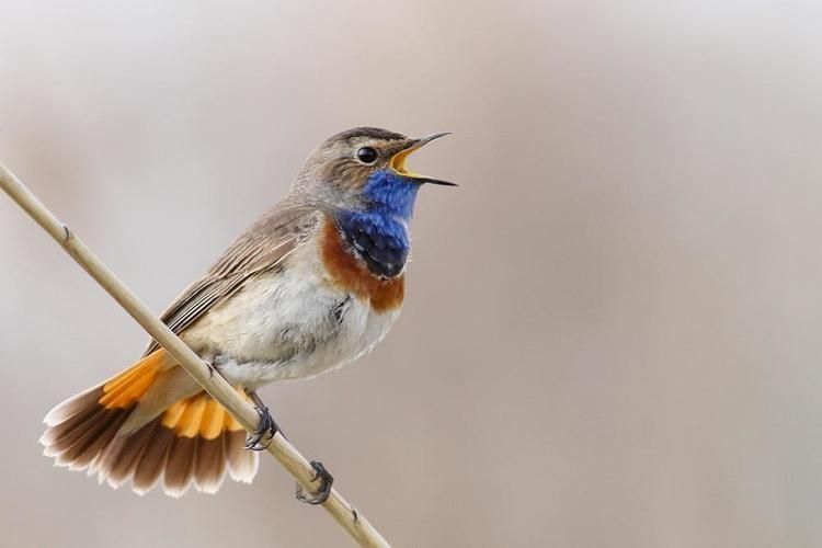 Bluethroat Photos of Bluethroat Luscinia svecica the Internet Bird