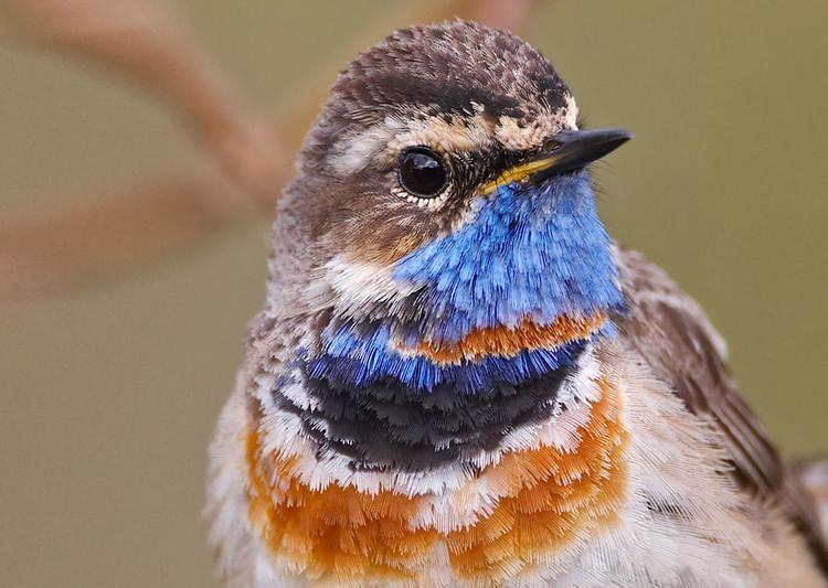 Bluethroat Bluethroat Audubon Field Guide