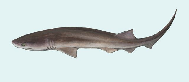 Bluntnose sixgill shark ADW Hexanchus griseus INFORMATION