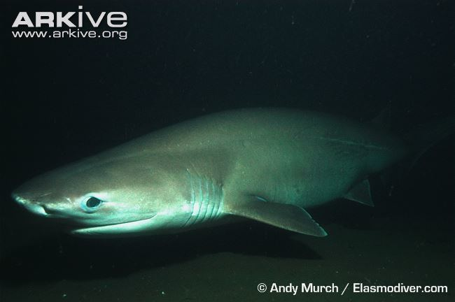 Bluntnose sixgill shark Bluntnose sixgill shark videos photos and facts Hexanchus