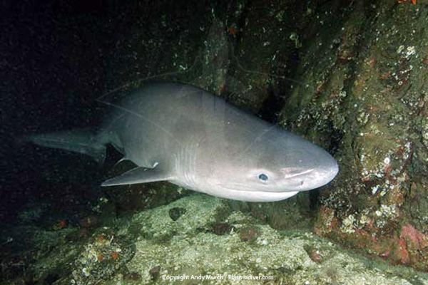 Bluntnose sixgill shark Bluntnose sixgill shark