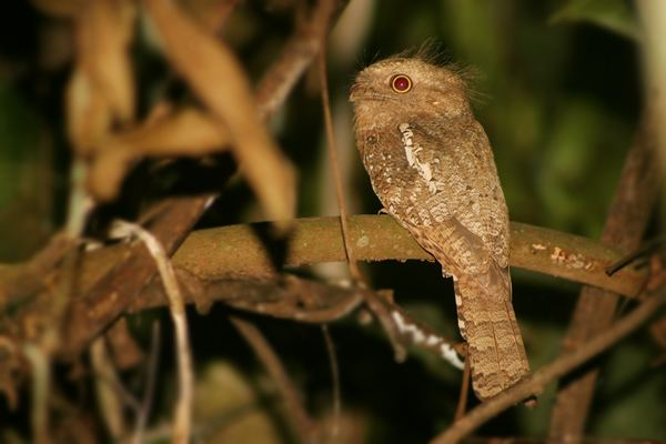 Blyth's frogmouth Surfbirds Online Photo Gallery Search Results