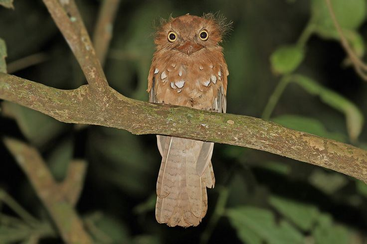 Blyth's frogmouth Pinterest The world39s catalog of ideas
