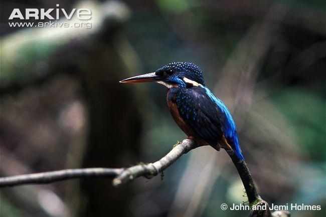 Blyth's kingfisher Blyth39s kingfisher photo Alcedo hercules G104203 ARKive