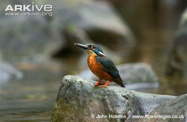 Blyth's kingfisher cdn1arkiveorgmedia1B1BA2D784C2DC4693943A3