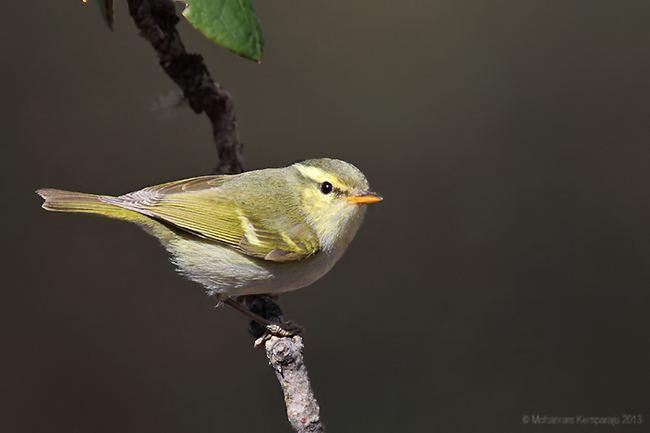 Blyth's leaf warbler Oriental Bird Club Image Database Blyth39s Leaf Warbler