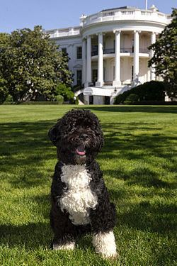Bo (dog) Bo dog Wikipedia