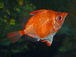 Boar Fish httpsuploadwikimediaorgwikipediacommonsthu