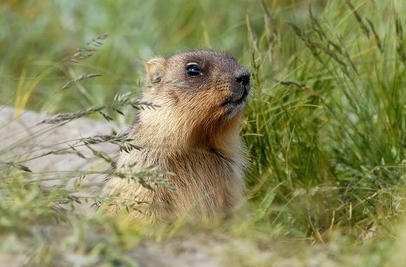 Bobak marmot Bobak marmot