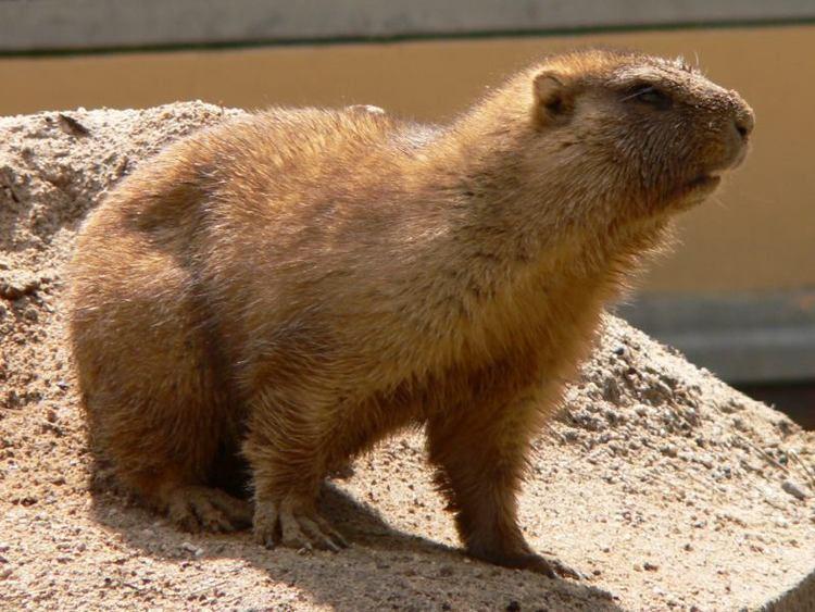Bobak marmot Image Marmota bobak Bobak Marmot BioLibcz