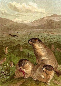 Bobak marmot httpsuploadwikimediaorgwikipediacommonsthu