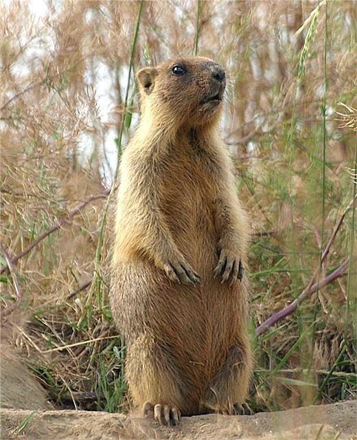 Bobak marmot allforhuntcom Bobak Marmot