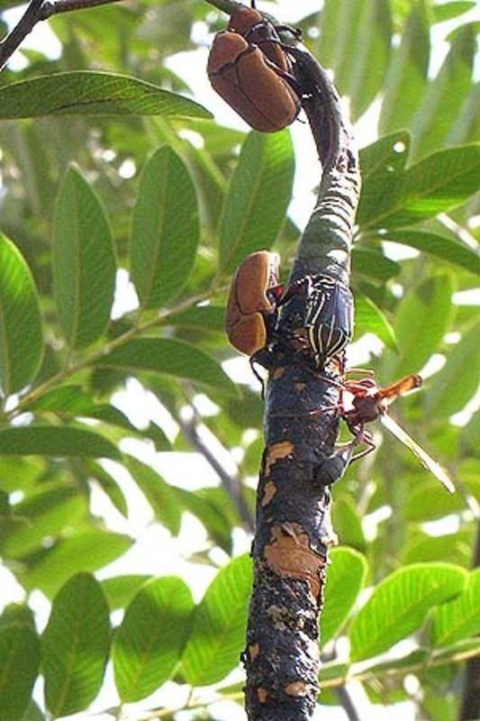 Bobgunnia madagascariensis Central African Plants A Photo Guide Bobgunnia madagascariensis